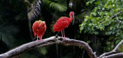 couple of Scarlet ibis on a tree trunk in forest countryside of brazil