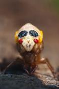 Cicada - Brood X Nymoh shedding its skin