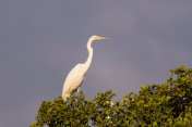 Great white egret sitting on a tree
