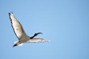 Australian white ibis flying. Threskiornis molucca.