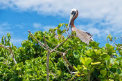 Pelican on the top of a green tree, against a blue sky and clouds