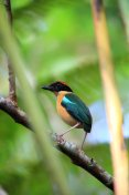 Black-faced pitta (Pitta anerythra) in Solomon Island