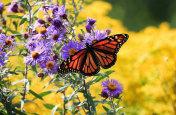 Monarch Butterfly on Purple Aster Flower
