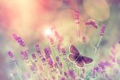 Butterfly flying over lavender flower