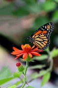 Monarch Butterfly alighting on tropical flower