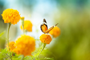 Butterfly on daisy flower, close-up