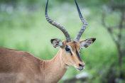 Close up of a Black-faced impala.