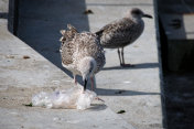 Seagull picking up discarded plastic litter bag