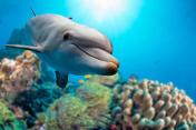 dolphin underwater on reef background