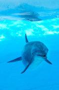 Dolphin underwater looking posing