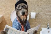 Irish wolfhound dog in a toilet