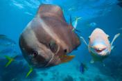 Bat fish and Parrot fish