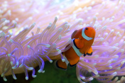 Tropical clown fish hiding in anemone