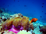 Clown Fish with Anemone