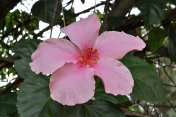 A Pink Hibiscus Plant