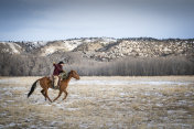 Cowboy lassoeing cattle in Montana