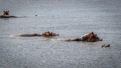 A group of Hippo walking through the Nile river