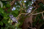 Close up of two pied kingfisher birds