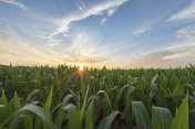 Green cornfield early morning light at sunrise