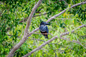 A beautiful giant kingfisher bird sitting on a branch