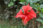 A Red Hibiscus Plant