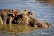 A lazy hippo taking a mud bath