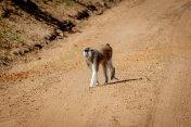 A curious patas monkey