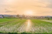 Beautiful  landscape view of  Rice fields at sun set