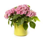 Pink Hydrangea in yellow pot