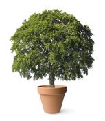 Great tree in the garden pot
