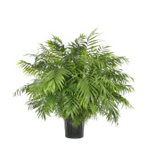 Potted Neamthabella Palm Isolated on White