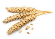 Dried Wheat Ear