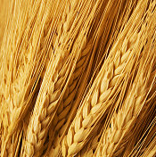 Several strands of golden wheat