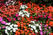 New Guinea Impatiens blooming in red, pink and white in the garden in summer