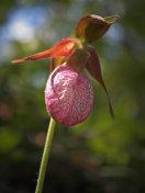 Lady's slipper flower close-up