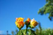 Beautiful peace roses close up