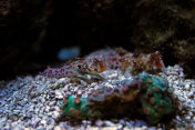Red Scooter dragonet fish