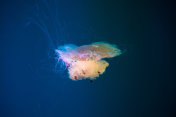 Yellow jellyfish in dark water.