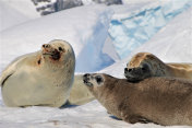 Seal Family in Antarctica