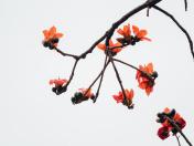 kapok common bombax ceiba flower