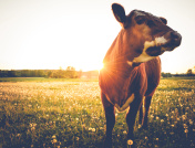 Happy single cow during sunset
