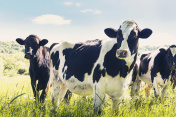 Close-up of cows in summer