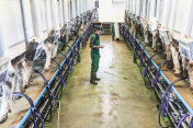 Woman worker controlling with mobile app the milking machine