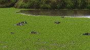 hippo in the swamp