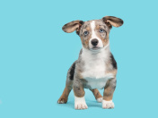 Standing welsh corgi puppy with blue eyes on a blue background