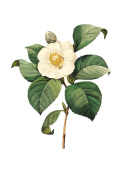 Camellia japonica | Redoute Flower Illustrations
