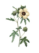 Hibiscus trionum | Redoute Flower Illustrations
