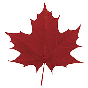 Realistic red maple leaf isolated on white background
