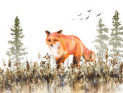 Walking Red Fox Sketch