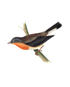 Red-Breasted Flycatcher - Hand Coloured Engraving